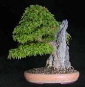 acer-buergianum-putz