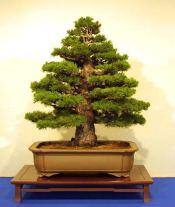 arbo_iwasaki_pine2-1