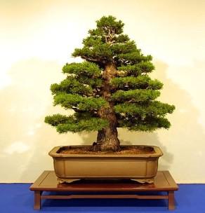 arbo_iwasaki_pine2