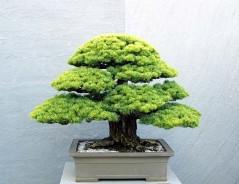 arbo_white_pine1