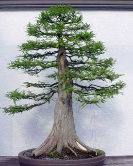 Bald Cypress from Guy Guidry, in training since 1987