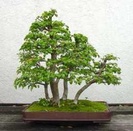 bonsai 25-1