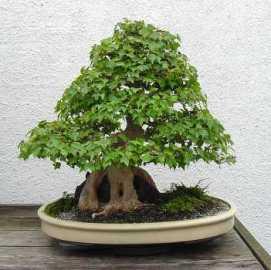 bonsai 61