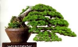 bonsai005