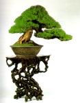 bonsai008