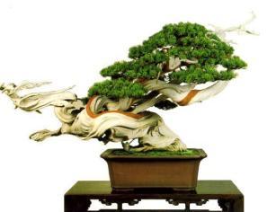 bonsai012-a