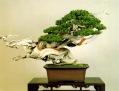 bonsai012