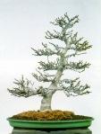 bonsai015
