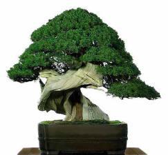 bonsai02