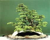 bonsai023