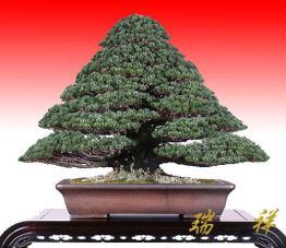 bonsai30-1