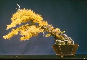 bonsai_D