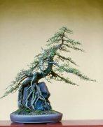 bonsai_E-1