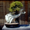 cal-juniper