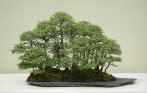 Chinese Elm 01