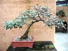 Chinese Pear Pyrus ussuriensis 1958