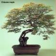 Chizome maple (70 anos-77cm)