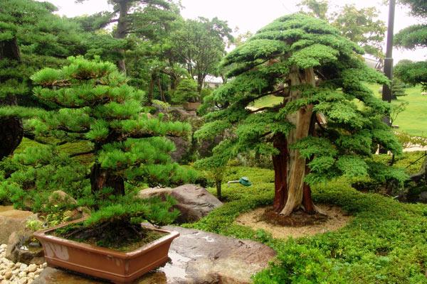 Os tamanhos do bonsai aido bonsai for Plantas para jardin japones