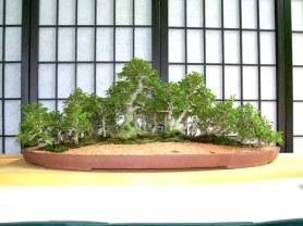 Ficus burt davii