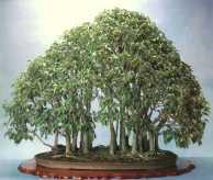 Ficus002