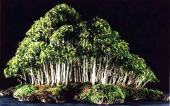 FicusPumilaF-1