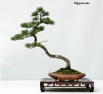 Five Needle Pine by QingquanZhao