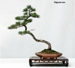 Five Needle Pine by Qingquan Zhao