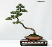 Five Needle Pine by Qingquan Zhao
