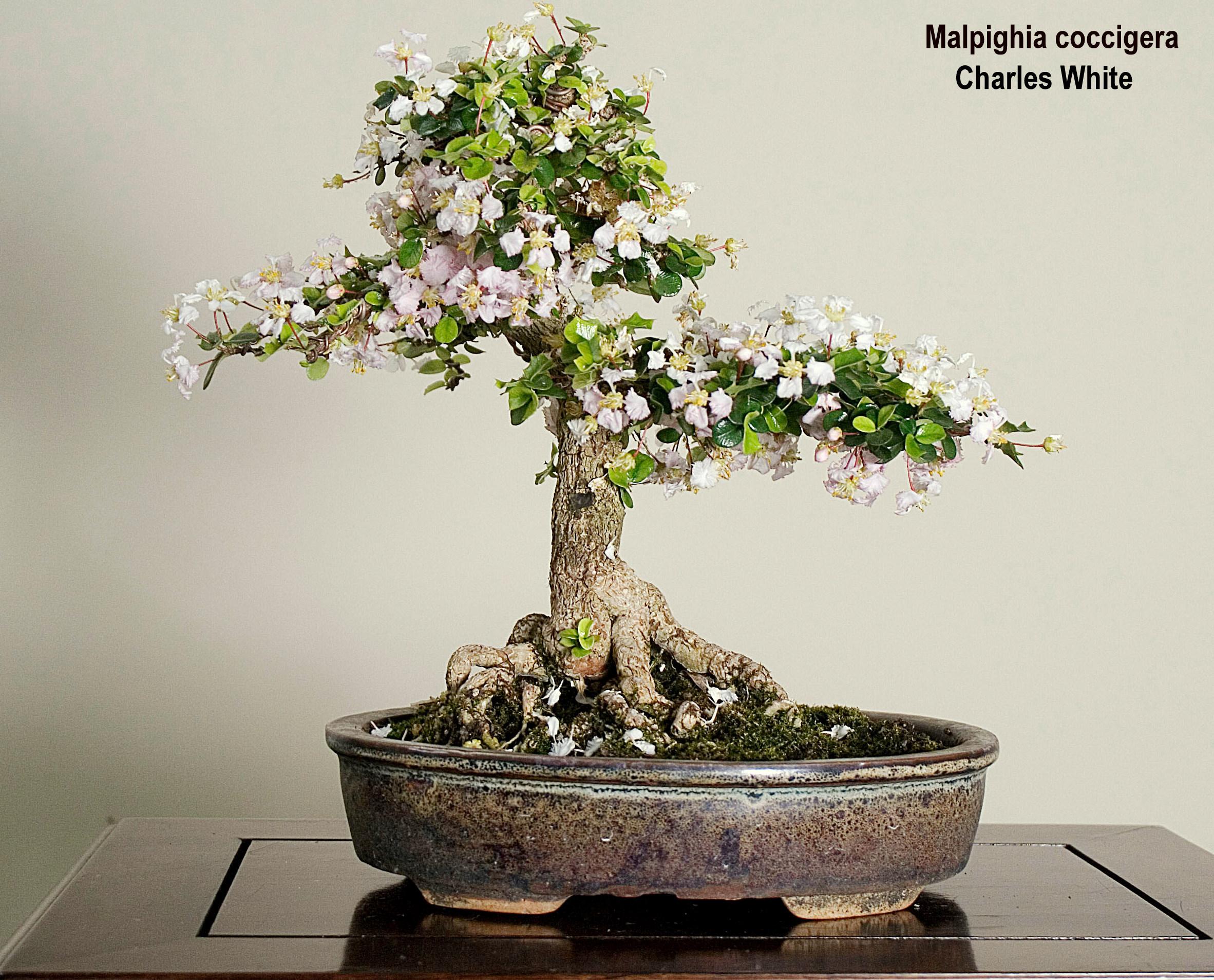 Bonsai natal os tamanhos do bonsai - Como cultivar bonsai ...