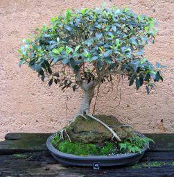 Port Jackson Fig - Ficus rubiginosa - 1964