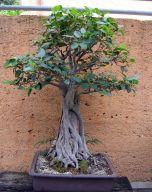 Moreton Bay Fig - Ficus macrophylla - 1950