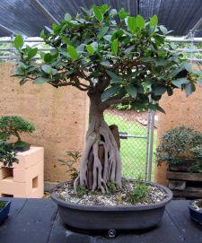 Moreton Bay Fig - Ficus macrophylla - 1958
