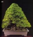 Japanese black pine - 150 anos - 78cm