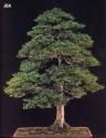 Japanese cypress - 150 anos - 113cm