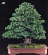 Japanese white pine - 130 anos - 72cm