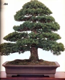 Japanese white pine - 150 anos - 3cm