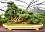 japanese_bonsai_trees_16