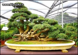 japanese_bonsai_trees_16