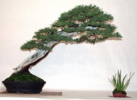juniperus-1