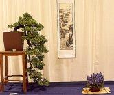 Juniperus procumbens 'Nana' 04