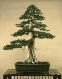 Juniperus011