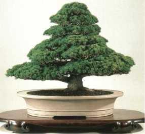 Juniperus012