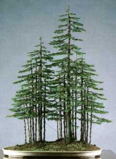 Juniperus013