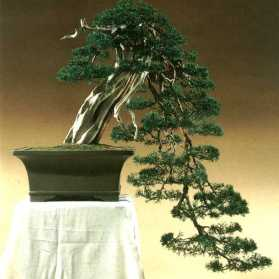 Juniperus016