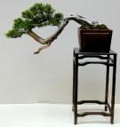 juniperus_9