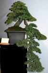 juniperus_procumbens4