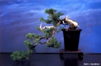 Kengai Herb
