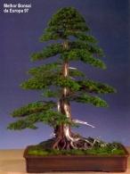 Kevin Willson - Chokan - Taxus baccata 110cm