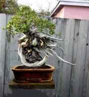 large buttonwood new pot