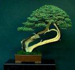 Liporace_Juniperus_Chinesis_4